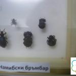 Намибски бръмбар