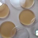 Хранителна среда за бактерии/ част от ателие