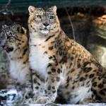 leopard-1994499_1920