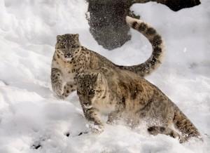 snow-leopard-1982520_1920