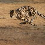 cheetah-2859581_1920 - Copy